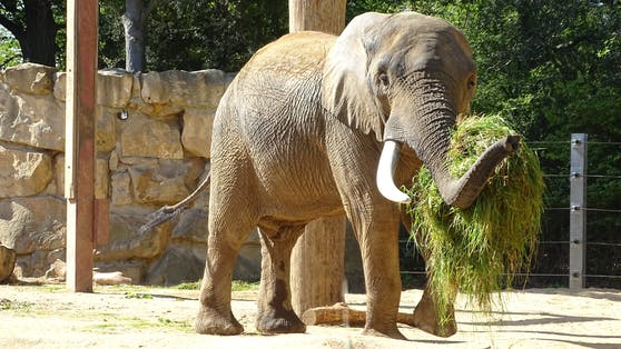 """Bulle """"Tembo"""" stärkt sich für Wiener Elefantendamen"""