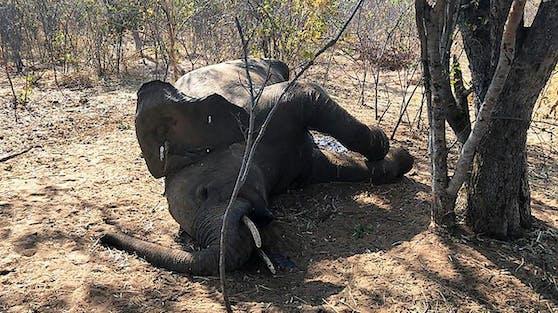 In Simbabwe waren den Behörden zufolge Bakterien für den Tod von 34 Elefanten verantwortlich.