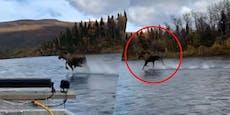 Kein Fake: Dieser Elch kann übers Wasser laufen