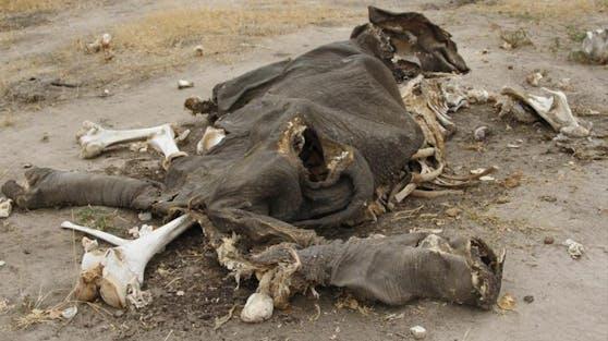 Die Elefanten wurden in den vergangenen Wochen tot im Pandamasue-Wald gefunden,