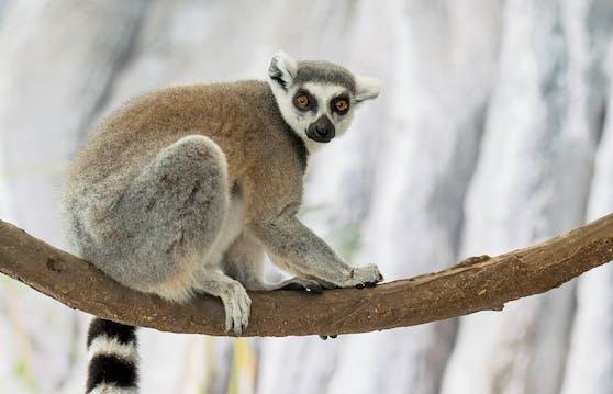 Ein Lemur ist in seinem neuen Wohnbereich angekommen.