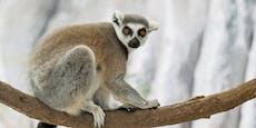 Im Haus des Meeres kannst du jetzt Lemure füttern