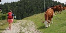 Frau fordert nach Kuh-Attacke 35.000 € Schadensersatz