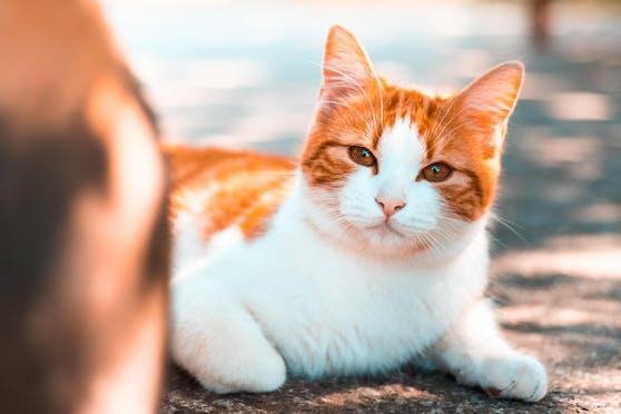 Ein vorwurfsvoller Blick, ein wütender Tatzenhieb oder schmollendes Verhalten: Manche Katzen können es nicht ertragen, nicht die unbegrenzte Aufmerksamkeit ihres Besitzers zu genießen.
