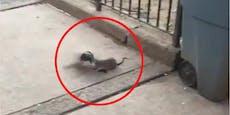 Ratte attackiert Taube und erlebt böse Überraschung