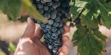 Weinpolizist geht in Baden gegen Traubendiebe vor