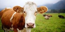 Wer sich hier impfen lässt, kann eine Kuh gewinnen