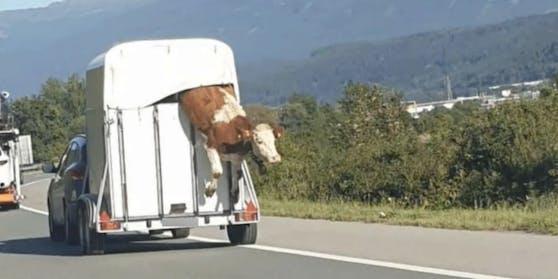 EinBauer verlor seinen Ochsen auf Inntalautobahn bei Kematen