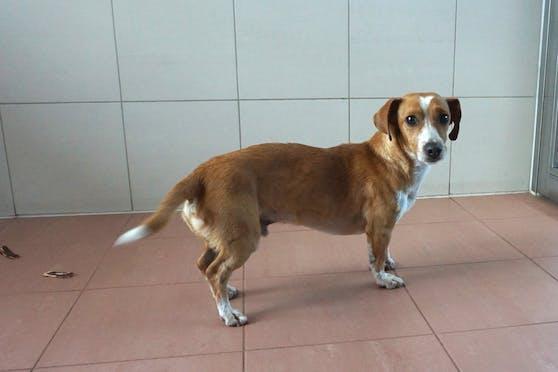 Der junge Mischlingsrüde wurde einer Wienerin wegen Tierquälerei abgenommen.