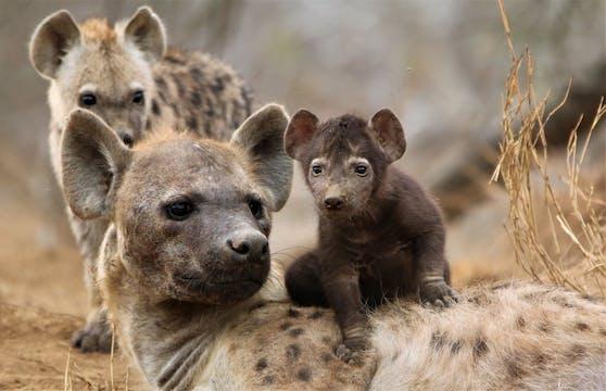 Die Hyäne ist in mehrfacher Hinsicht ein sehr außergewöhnliches Tier.