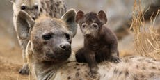AUA! Wusstet ihr wodurch Hyänen auf die Welt kommen?