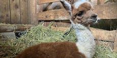 Süßer Alpaka-Nachwuchs im Tierpark Buchenberg
