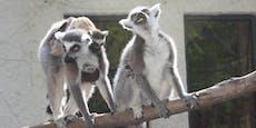 Biss-Attacke in Zoo: Kattas bleiben vorerst im Gehege
