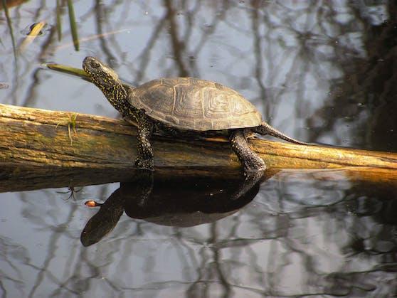 Die Europäische Sumpfschildkröte im Nationalpark