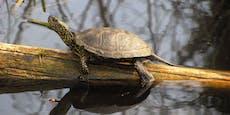 Artenschutzprogramm für Sumpfschildkröte gestartet