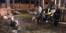 Stall überflutet, 300 Ziegen drohten zu ertrinken