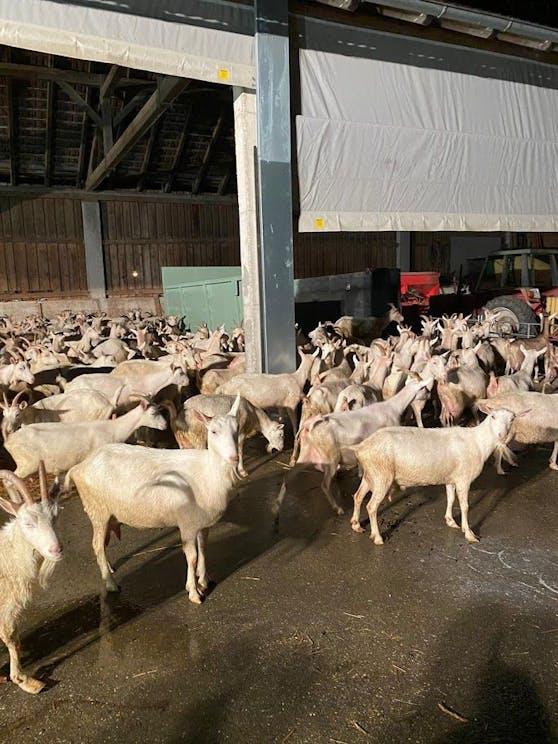 Die Ziegen wurden ins Trockene gebracht.
