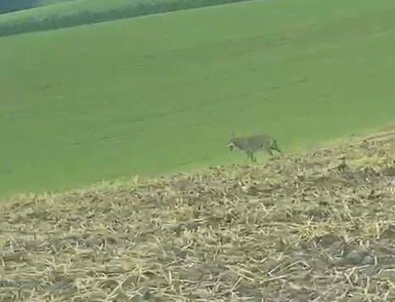 Ein Wolf auf einem Feld in Niederösterreich (Archivfoto).
