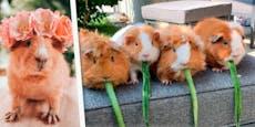 Insta-Meerschweinchen aus Graz sind weltberühmt