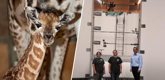 Giraffenweibchen Wakilia wandert aus, um eine Familie zu gründen. Im Transporter geht's ab nach Lettland.
