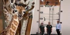Zoo Schmiding: Giraffen-Dame übersiedelt nach Lettland