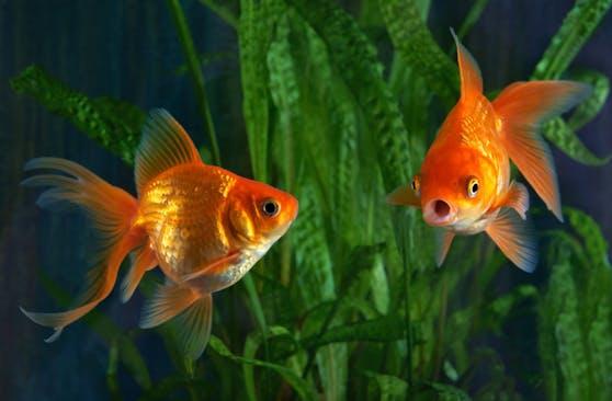 Die Österreicher lieben ihre Aquarien mit den Goldfischen.