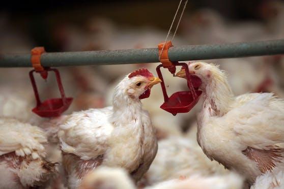 VKI-Test: Hühnerfleisch häufig mit Keimen belastet