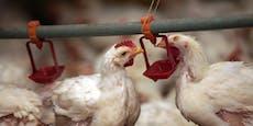 Gefährliche Keime in fast jedem Supermarkt-Hühnerfleisch