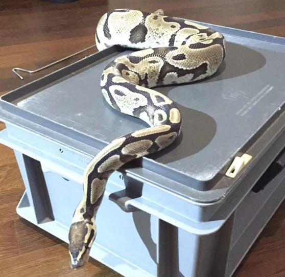 In einer Wohnung in Dietikon wurde das rund fünf Jahre alte Tier gefunden.