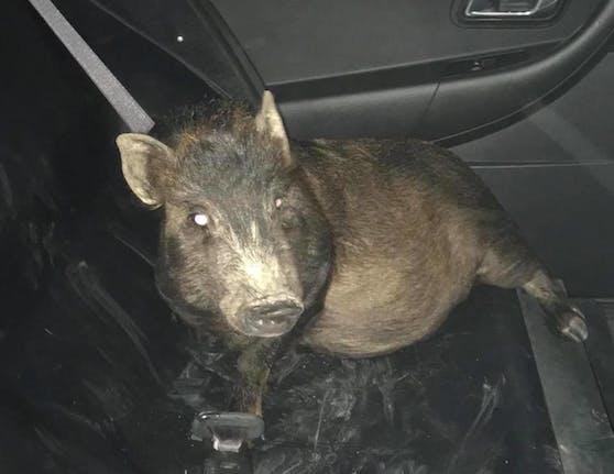 Das Schwein konnte in den Streifenwagen gelockt werden.