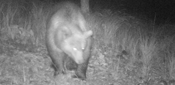 Dieser Bär wurde von einer Wildkamera fotografiert (8. Oktober 2019)