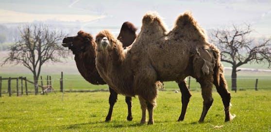 Kamele auf einem Bauernhof in Deutschland. Symbolbild