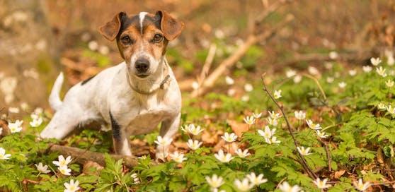 In Pöchlarn wird vor ausgelegten Giftködern gewarnt, einen Hund soll es schon erwischt haben.