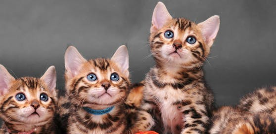 Beim Kauf solcher Bengalen-Katzen wurde eine junge Frau in Linz betrogen.