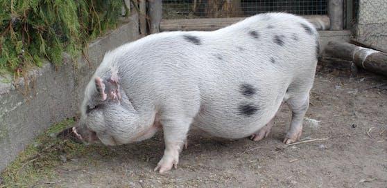 Ein Hängebauchschwein wurde von einem Auto erfasst. Das Tier verendete.