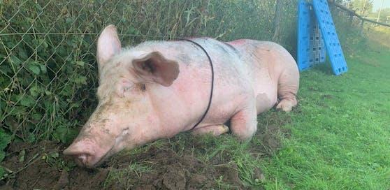 """Schweine-Dame """"Lotta"""" wurde gerettet, nachdem sie Fußball-Hooligans in Mannheim mit Parolen besprüht und ausgesetzt hatten. Bild: Tierrettung Rhein Neckar."""