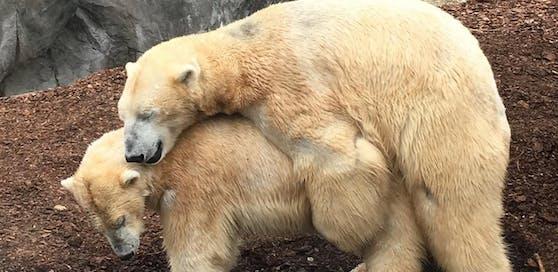 Unser Leserreporter erwischte die Eisbären in einer kompromittierenden Position.