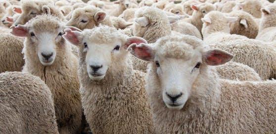 Schaf-Schlachtungen in Hinterhöfen? Die TKG verweist auf den heimischen Handel.