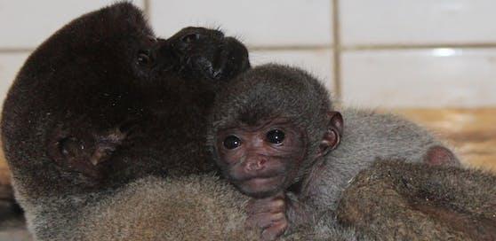 Das süße Wollaffen-Baby schmiegt sich ganz eng an die Mama.