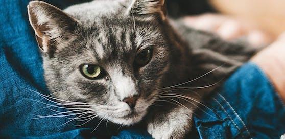 Die Katze dürfte ein Zeckenvirus auf den Menschen übertragen haben (Symbolbild)