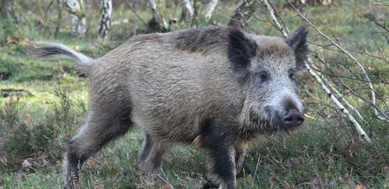 Die Wildschweinjagd kostete einen deutschen Jäger das Leben. (Symbolbild)