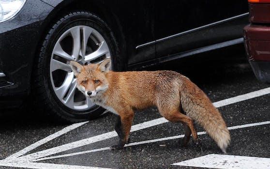 Ein Fuchs hat sich vergangene Woche in der Nacht ins Unispital Zürich geschlichen. Symbolfoto