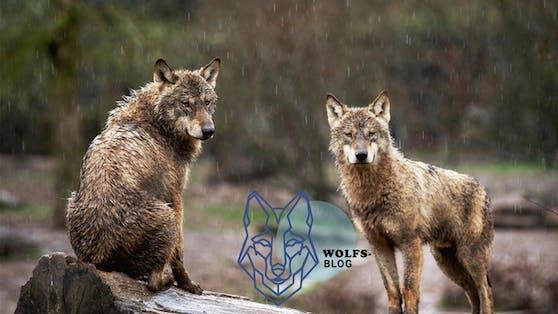 Der Wolf ist in aller Munde, doch die wenigsten wissen wer oder was er eigentlich ist. Wolfsexperte Kurt Kotrschal klärt auf.