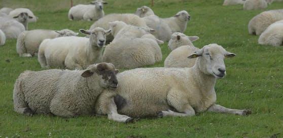 Schafe sollen nicht an Muslime verkauft werden, empfiehlt die Bezirkshauptmannschaft Murtal. (Symbolfoto)