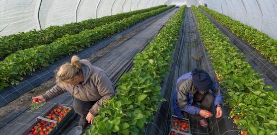(Symbolbild) Erntehelfer bei der Erdbeeren-Ernte