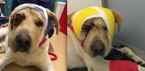 """""""Bobbi"""" wurde von dem Pkw schwer verletzt - derzeit erholt er sich in der Tierklinik Anicura."""