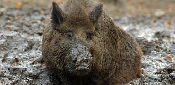 In Zlin wurde die Afrikanische Schweinepest festgestellt.