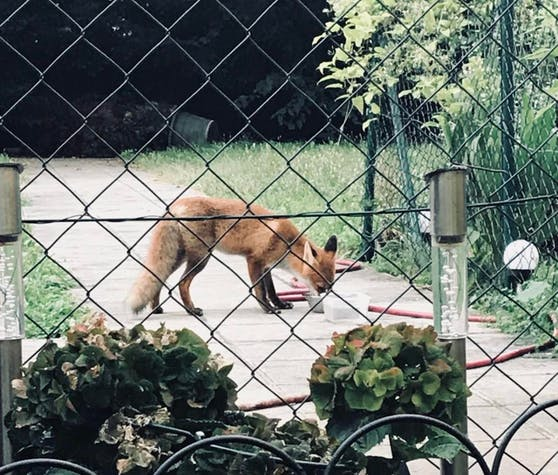 Fünf Jahre sammelten Forscher Fuchsbeobachtungen aus der Bevölkerung, um mehr darüber zu erfahren wo sie im urbanen Bereich leben.