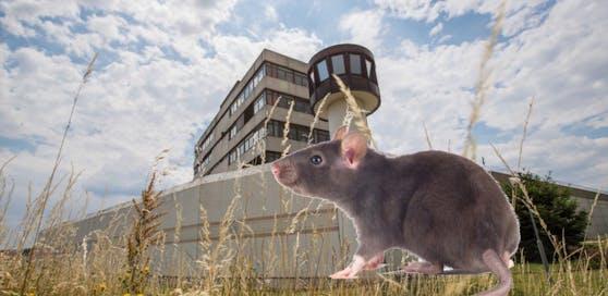 Nach Wanzen plagen jetzt Ratten die Beamten und Häftlinge in Stein.