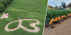 In diesem Maisfeld gibt es jetzt eine Go-Kart-Bahn
